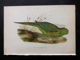 Greene Parrots in Captivity 1887 Hand Col Bird Print. Green Ground Parrot